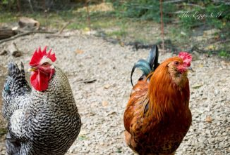 You Don't Need a Rooster Rescue, Set Up a Bachelor Pad Instead