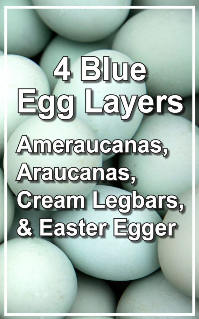 Blue Egg Layers