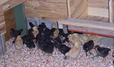 chicken runs and coops for baby chicks