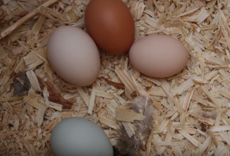 How Old Do Chickens Need to Be to Lay Eggs? — Chickens in a Minute Video