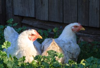 Shade for Chickens
