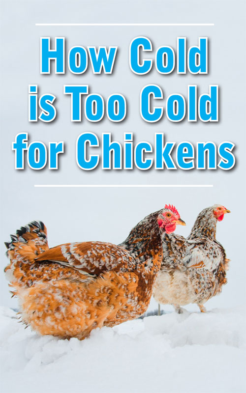 Too Cold For Chickens