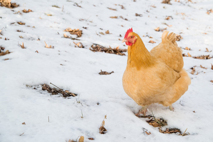 how-cold-is-too-cold-for-chickens