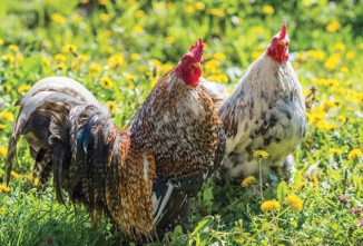 Help Chickens Keep Their Cool