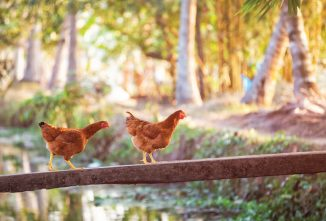 Organic Poultry Production in India