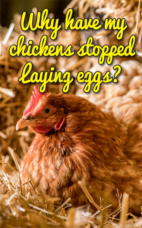 Chickens Stop Laying