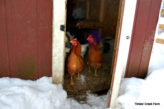 A Proper Chicken Coop Design Reduces Winter Health Issues — Chickens in a Minute Video