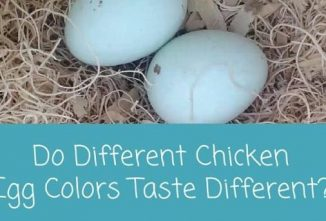 Do Different Chicken Egg Colors Taste Different? – Chickens in a Minute Video
