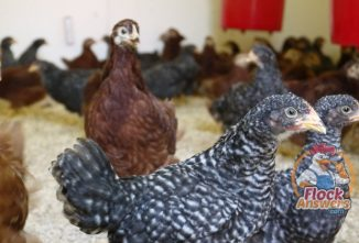 How to Help Your Chickens Maintain a Healthy Digestive System