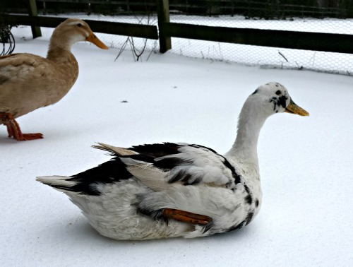 A Guide to Duck Shelters for Winter
