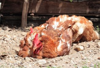Ah! There's Nothing Like a Good Dust Bath in the Afternoon