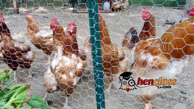 why-have-my-chickens-stopped-laying