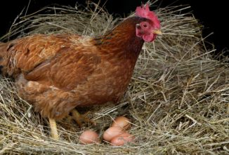 Breeding Chickens for Egg and Meat Production