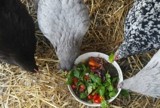 Make a Weed Salad with Apple Cider Vinegar for Your Chickens