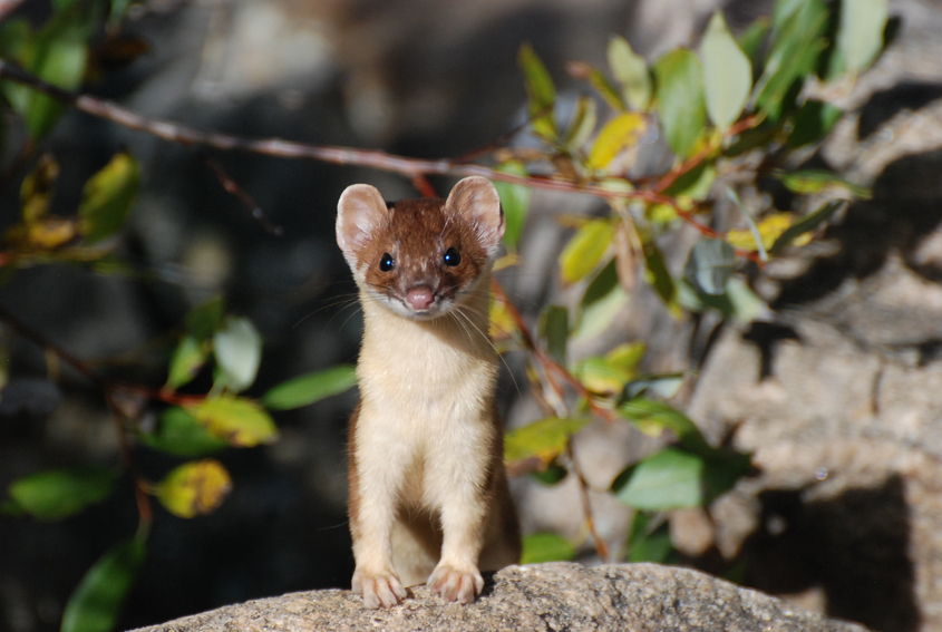 Weasels Killing Chickens is Common, but Preventable