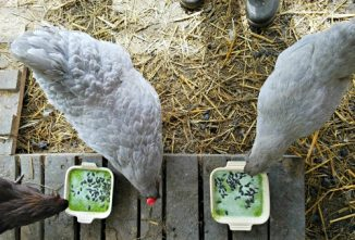 Protein-Packed Smoothies for Molting Chickens