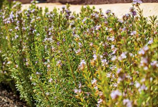 Rosemary, For Better Circulation