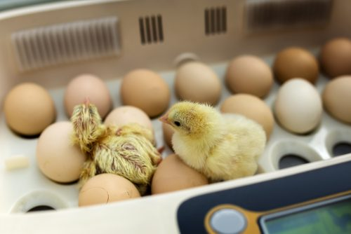 hatching-eggs-for-kids