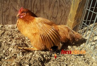Mitigating Ammonia: Your Options in Poultry Litter Treatment