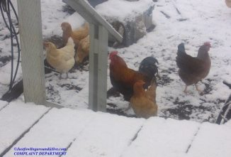 What Does a Chicken Coop Need for Winter?