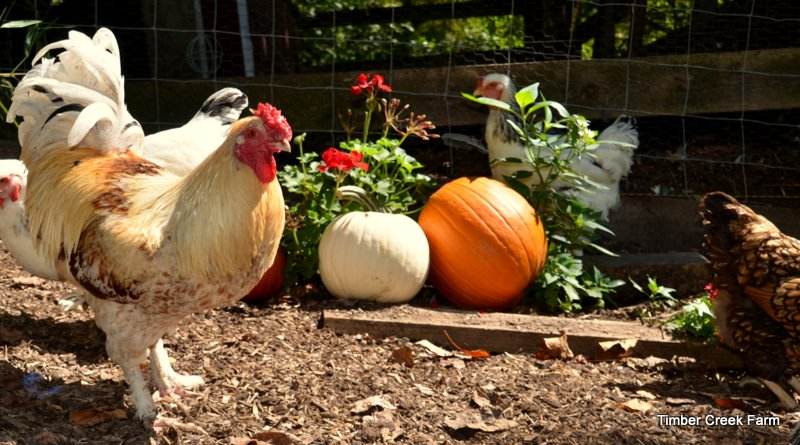 What Does a Chicken Coop Need for Fall?
