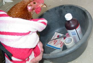 What Does a Chicken Coop Need in Case of Emergency