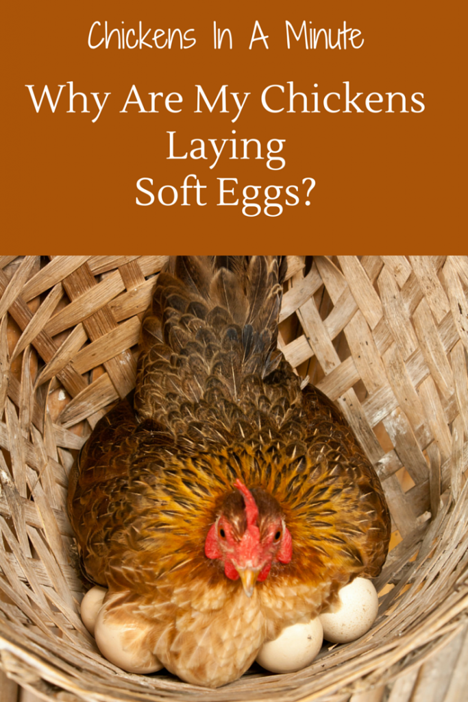 chickens-laying-soft-eggs
