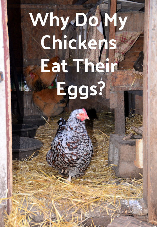why-do-my-chickens-eat-their-eggs