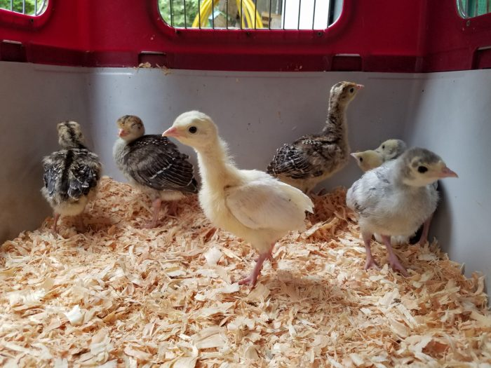 Raising Turkey Poults in a Healthy Brooder Environment