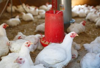 The Emotional Gauntlet of Raising Meat Chickens & Other Livestock