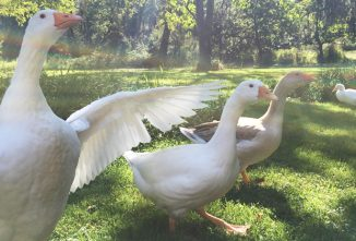 Geese Breeds: Which Breed of Goose is Right for My Goals?