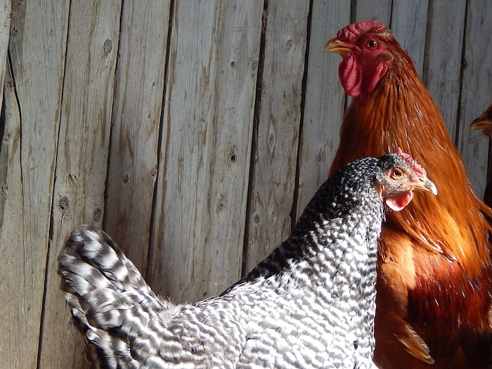 Barred hens and red roosters are one possiblity to get sex-link offspring.