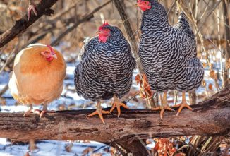 A Guide to Heat-Tolerant and Cold-Hardy Chicken Breeds