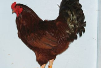 Buckeye Chickens: An All-American Breed