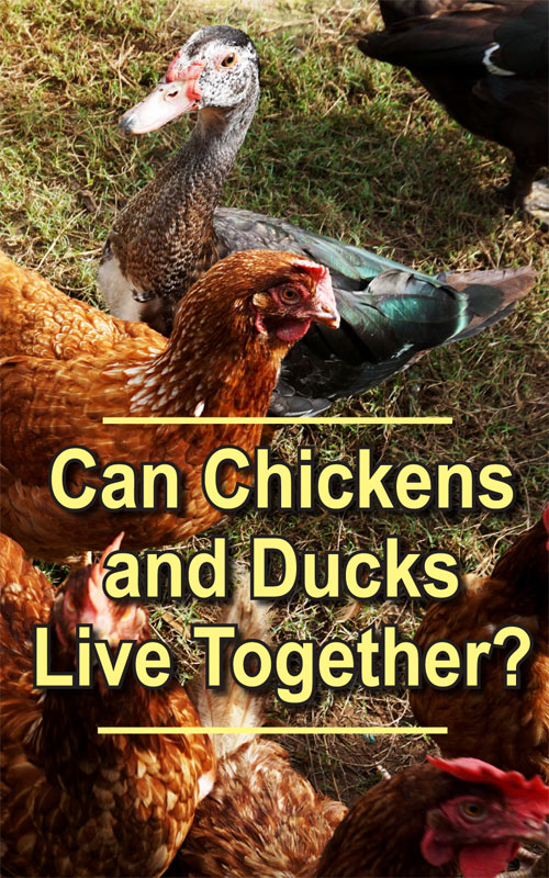 Chickens and Ducks