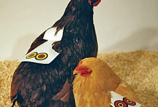 Saddle Up Your Chickens!