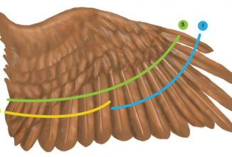 A Guide to Clipping Chicken Wings