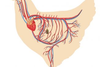 The Circulatory System — Biology of the Chicken, Part 6
