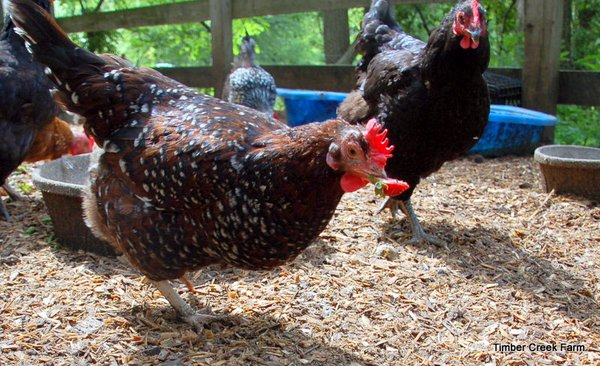 speckled-sussex-chickens