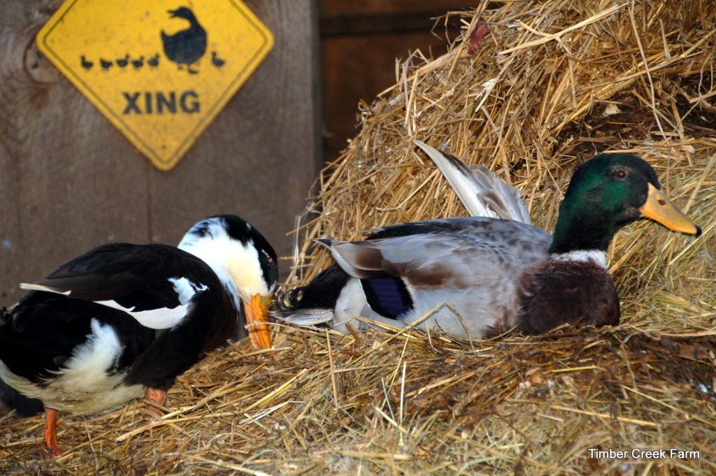 what-do-you-feed-baby-ducks