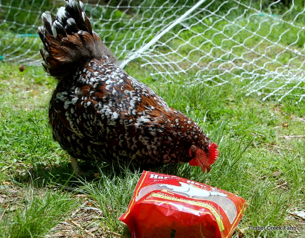are chickens good pets