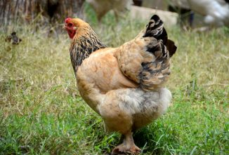 How to Influence the Law on Keeping Chickens in Residential Areas