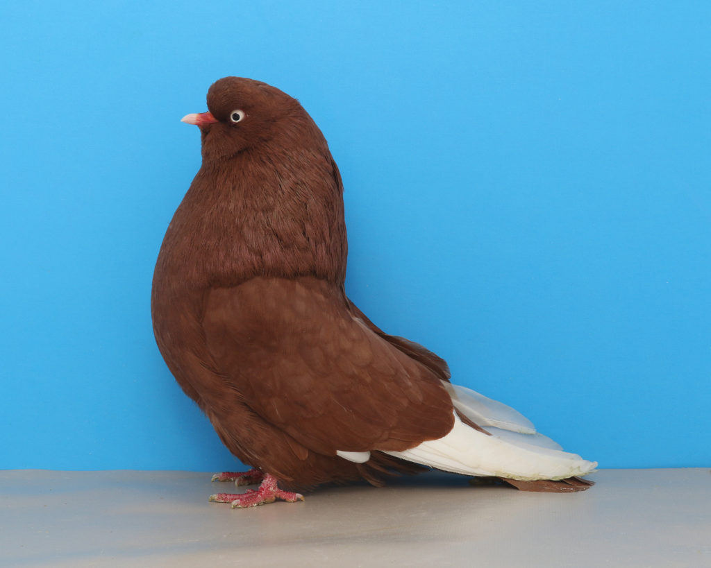 The Domestic Show Flight pigeon orginated in New York state. This variety is a red plainhead. Photo by Layne Gardner.