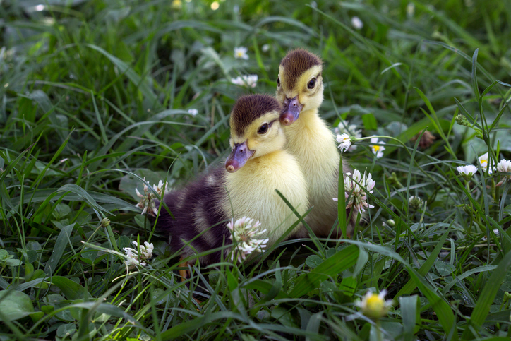 Will a Broody Hen Adopt Ducklings?