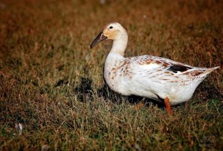 Raising Critical Breeds: Dutch Hookbill and Aylesbury Ducks