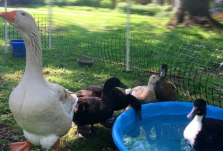 How to Guard Your Backyard Flock with Domestic Geese Breeds