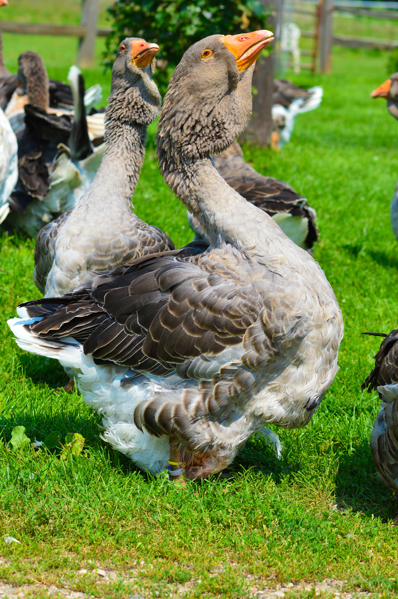 Geese and Turkeys