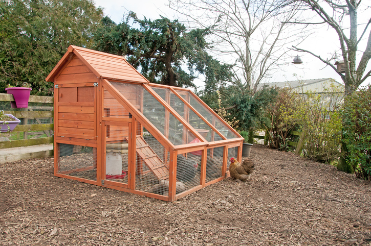 Combating 7 Critters in Chicken Coops and Runs