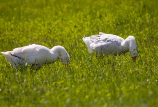 Raising Geese and Ducks on Pasture