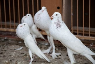 Meet the English Pouter Pigeon